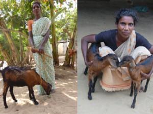 Goat delivered twins