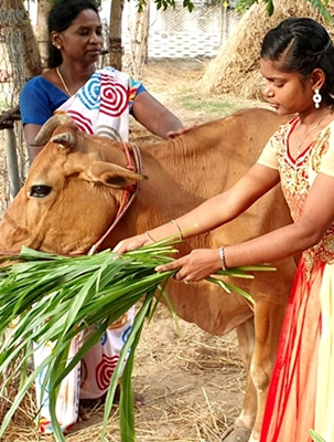 girl with cow
